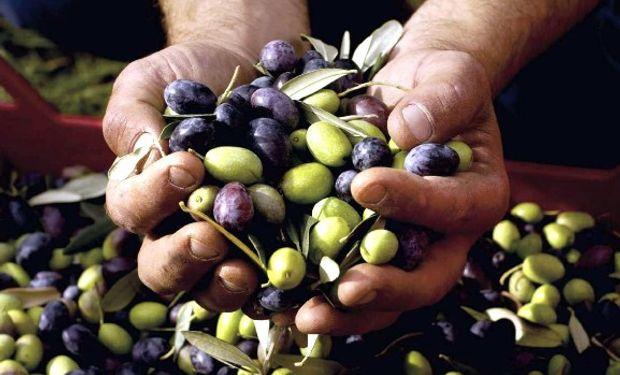 Situación del sector olivícola en la provincia no parece del todo alentadora.