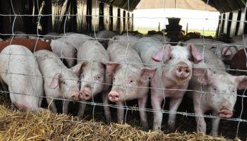 El negocio porcino demanda mayor tecnificación