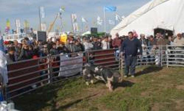 Complicada situación del sector porcino