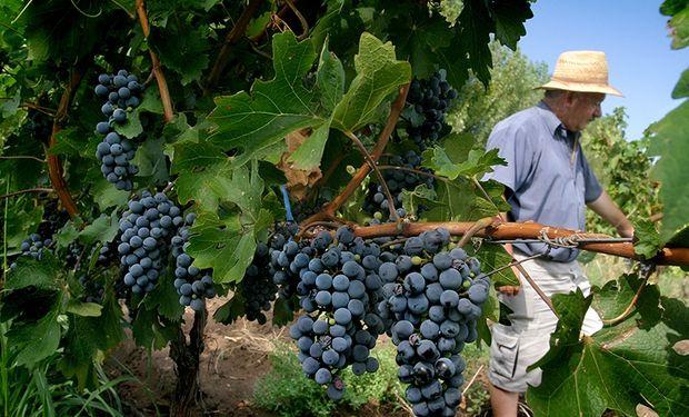 En los últimos cuatro años, el precio de la uva recibido por el productor ha subido entre un 10 y un 15 por ciento, mientras que los costos se incrementaron un 80 por ciento