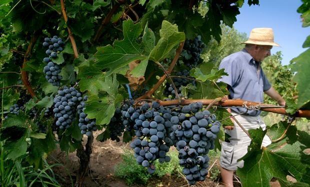 La Rioja, Catamarca, Salta, Río Negro, Neuquén, La Pampa y Córdoba suman 1.542.000 quintales de uva.