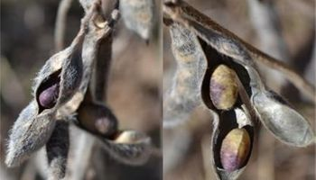 Calidad de la semilla de soja pide protagonismo