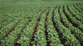 Bayer suspende el negocio de semillas de soja en Argentina: a partir de cuándo y por qué