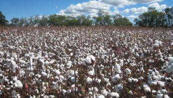 Nuevo marco regulatorio para usuarios de semillas de algodón