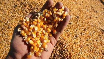 Maíz: crecerá la facturación por venta de semillas