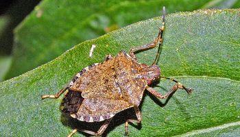 Alerta fitosanitaria para prevenir el ingreso de dos plagas vegetales