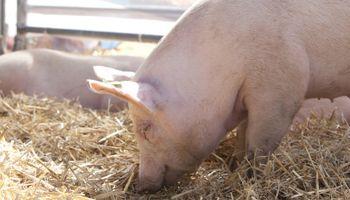 Nace plan para que empresarios inviertan US$ 20 millones en una mega planta porcina