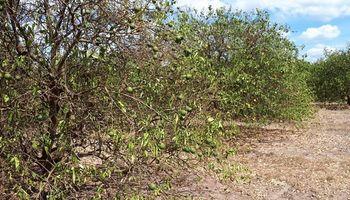 Preocupa la sequía que afecta los cítricos de Corrientes