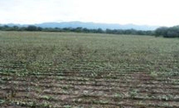 Heladas y una feroz sequía castigan al agro en Salta