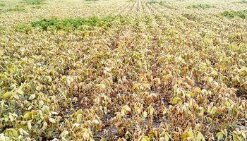 Sequía: productores que alquilaron campo ya están en quebranto