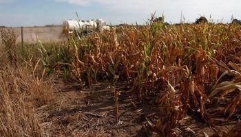 Córdoba: millones de toneladas de maíz y soja pasarán a forraje por la sequía