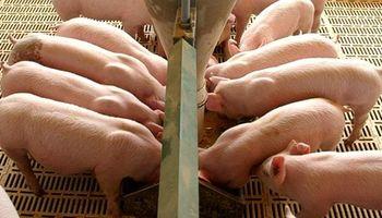 Se agrava la crisis en el sector porcino
