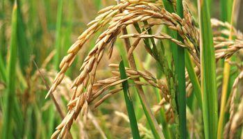 Por lluvias podría caer el área sembrada de arroz