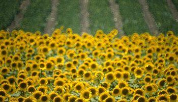 Siembra de girasol: proyectan 1,6 millones de hectáreas