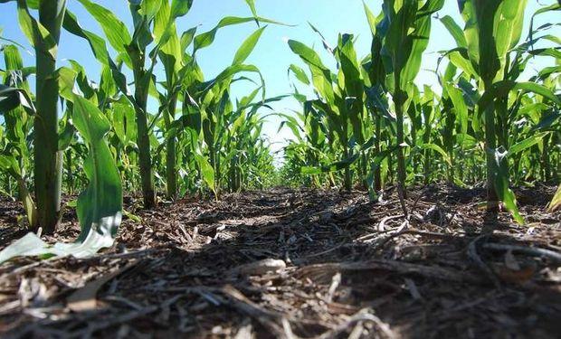Muy demorada: la siembra de maíz con un retraso del 35%.