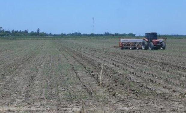 Lote de rastrojo de girasol, en pleno proceso de siembra de soja de segunda en el centro del departamento General Obligado.-