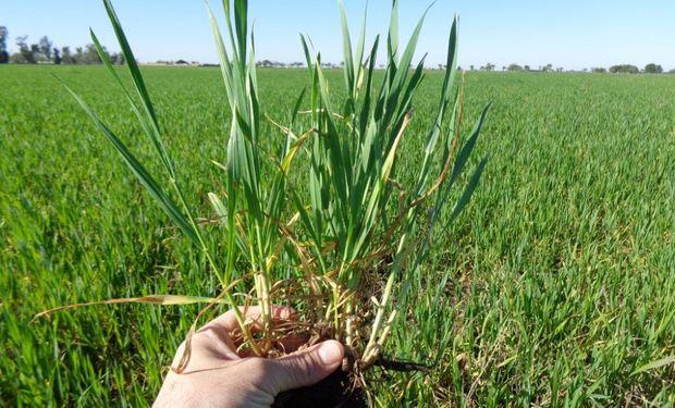 El trigo le escapa a la pandemia y se sembrarían 100 mil hectáreas más que el año pasado