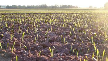 Cuidando al trigo desde la semilla