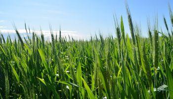 Área sembrada con trigo: proyectan un 30% más