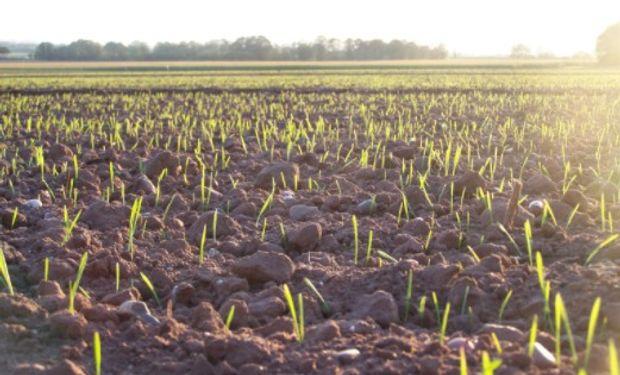 La siembra de trigo siguió a buen ritmo, incrementándose las intenciones proyectadas.