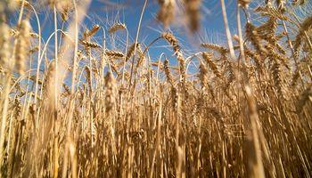 El Gobierno estima que la siembra de trigo será la mayor en 19 años