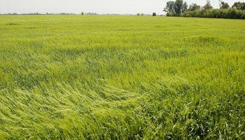 Cómo viene la siembra de trigo: hay dudas de concretar lo proyectado inicialmente
