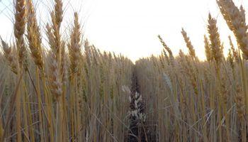 El clima seco sobre el norte y el oeste redujo en 150 mil hectáreas la siembra de trigo