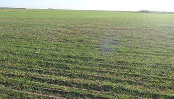 Más señales negativas para el trigo: área podría ser menor