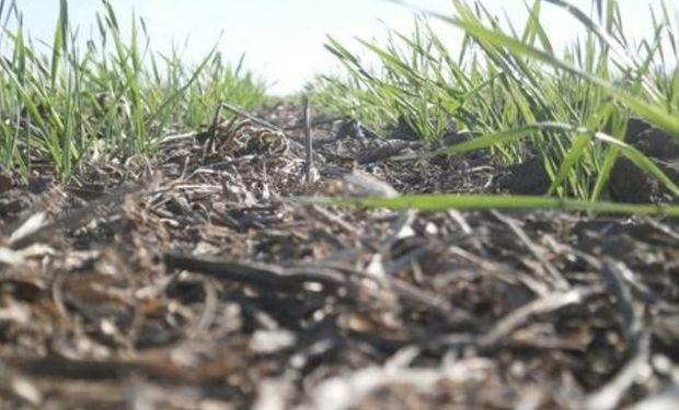 Lote de trigo sobre rastrojo de soja, en pleno proceso de desarrollo, en el centro del departamento San Martín.-