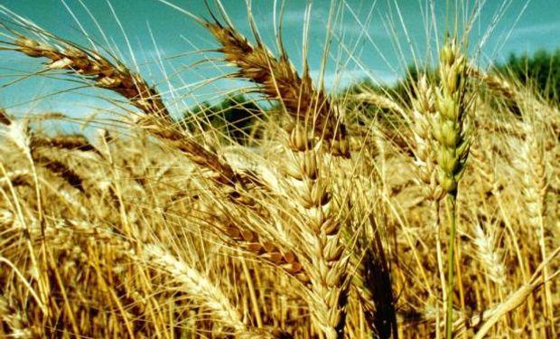 En Uruguay se desaniman con el trigo