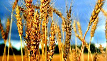 Auguran más siembra de trigo