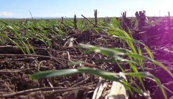 Con buenas condiciones climáticas, avanza la siembra de trigo