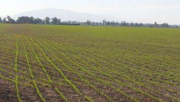 Con una reducción en la estimación, avanza la siembra de trigo