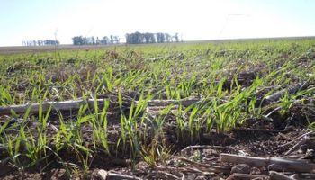 Superficie con trigo 2015/16: advierten sobre una caída del 10%