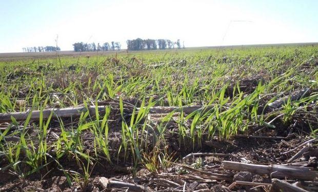 El trigo se implantará con Cristina Kirchner aún presidenta y se cosechará con el ganador de octubre.
