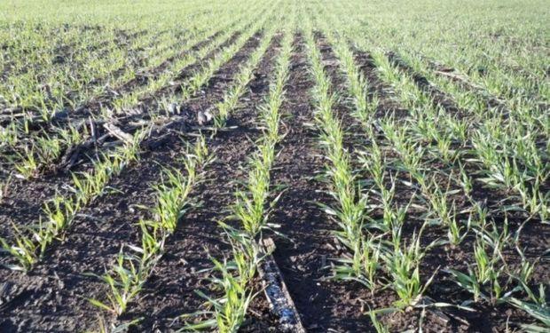 Tecnología y sostenido ritmo de siembra para el trigo.