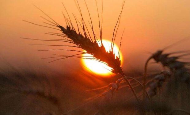 El trigo para grano, la cebada y el centeno son algunos de los cultivos recomendados.