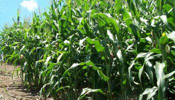 Estiman posible un aumento en la superficie destinada al maíz