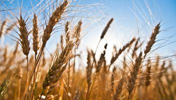 Área destinada a los granos finos creció sólo 5%