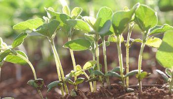 Finaliza la siembra de soja de primera en la zona núcleo