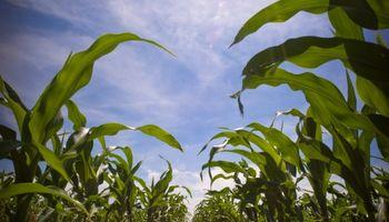 Afirman que el maíz tardío aporta estabilidad