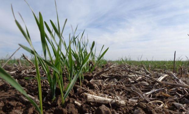 Inicio anticipado para el trigo: hay un fuerte adelanto en la siembra contra el año pasado