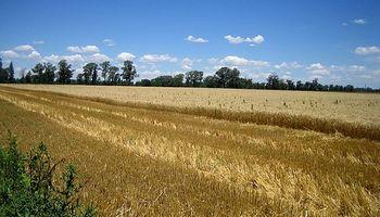 Canadá: Reducen área de trigo