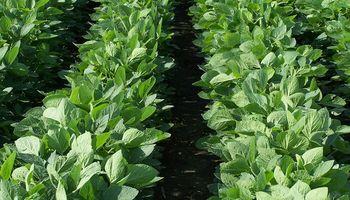 Cuarta semana de subas para la soja en Chicago: así reaccionó el mercado local