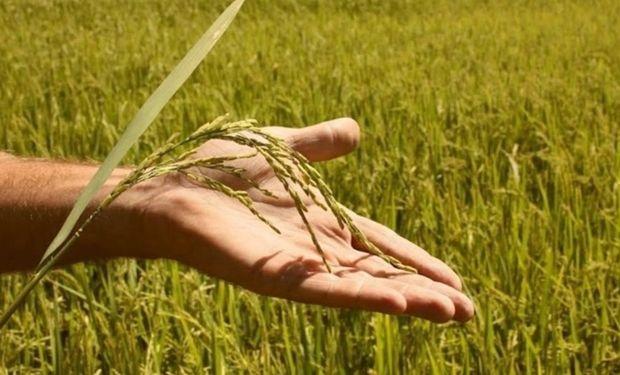 En la última cosecha, los productores arroceros trillaron 1,2 millones de toneladas. Con menos hectáreas sembradas, en esta campaña el clima será aún más decisivo.