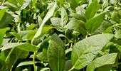 El flumioxazin llegó a su máxima expresión y pronto estará al alcance del productor