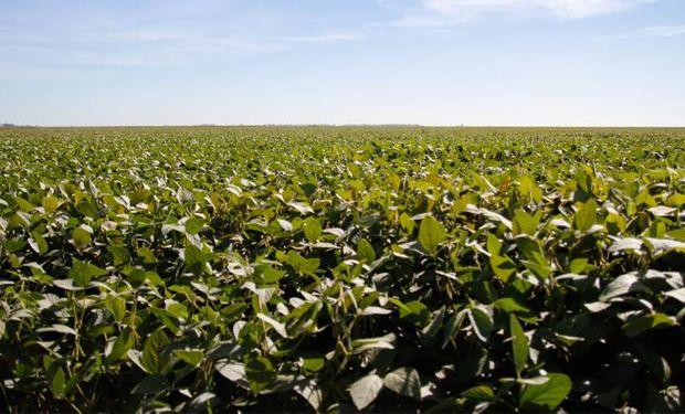 La soja genéticamente modificada recibió el visto bueno del Gobierno.