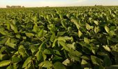Indigo Insights: presentan una aplicación única para soja y maíz