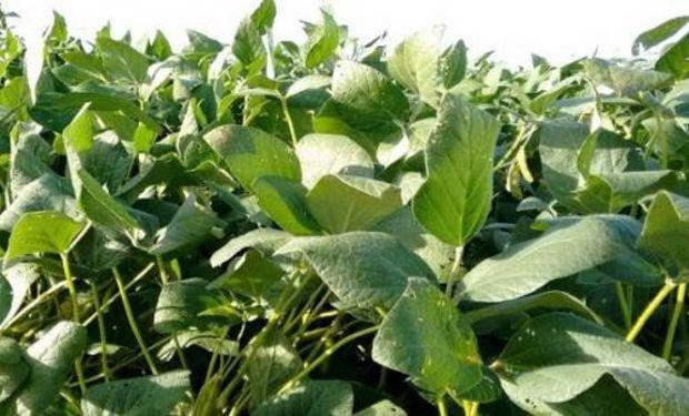 Como ahora los productores hacen una pausa con el cereal por el riesgo de desarrollo del mal de Río Cuarto, impulsarán la implantación de soja de primera en cuanto haya piso.