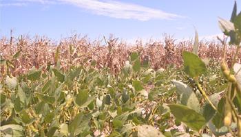 Los micronutrientes también importan para la soja y el maíz